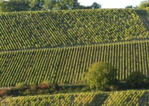 Vineyards at Vignoble Angst in Burgundy