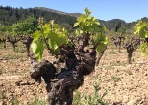 Vine of Chateau Mansenoble