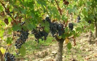 Black Grapes at Domaine Sauvete