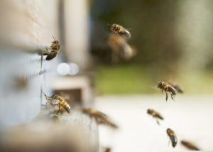 Bees at Château de la Dauphine in Bordeaux