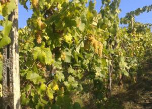 Vineyards at Azienda Agricola Casale