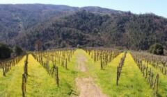 Vineyards at Tenuta Montiani