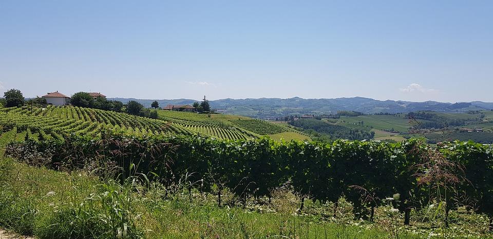 Weingarten, Reben, Rebe, Wein, Natur, Trauben, Weinrebe