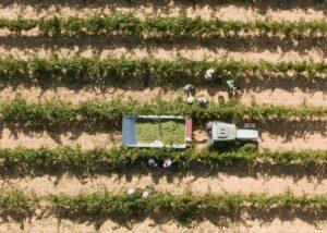 People harvesting white grapes in the vineyard of Casa Ravella