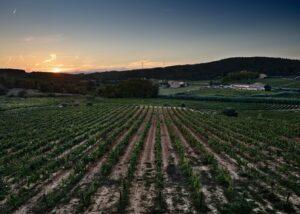 The vineyard of the Casa Ravella at sunset
