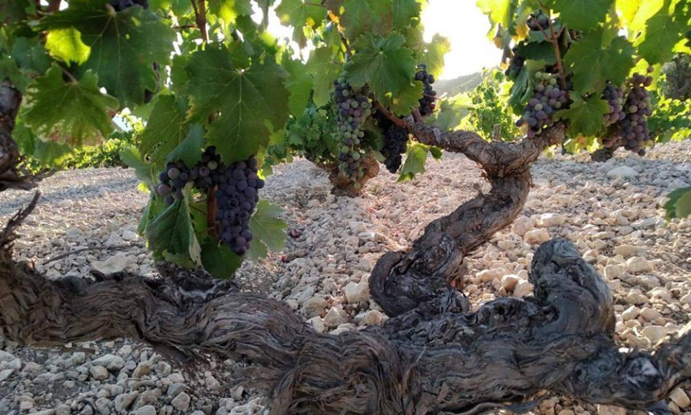 bodegas monovar vineyard near great winery in lovely spain