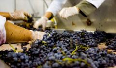 de las encomiendas winemakers sorting harvested black grapes