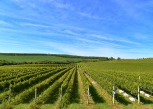 vineyard of lidio carraro boutique winery