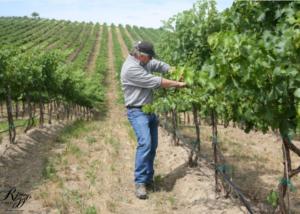pardis winery winemaker works at vineyard in united states