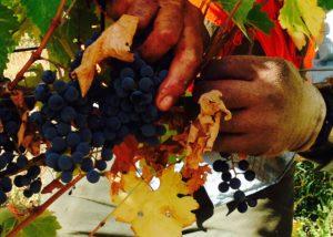 winemaker harvesting grapes at optima vineyard in united states