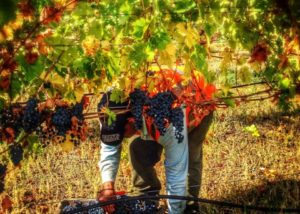 winemakers at optima vineyards located in united states