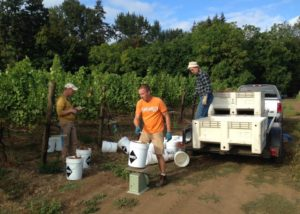 winemakers working during harvesting process at hanson vineyards