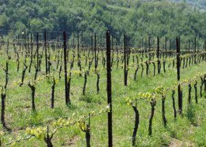 The young vines of the Azienda Agricola Zaccagnini