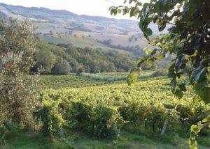 The vineyard of the Azienda Agricola Zaccagnini