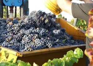 Harvesting black grapes in a steel tank before making wine at De Falco Sas.