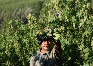 winemaker gathering grapes of vine in Tenuta Vitalonga winery