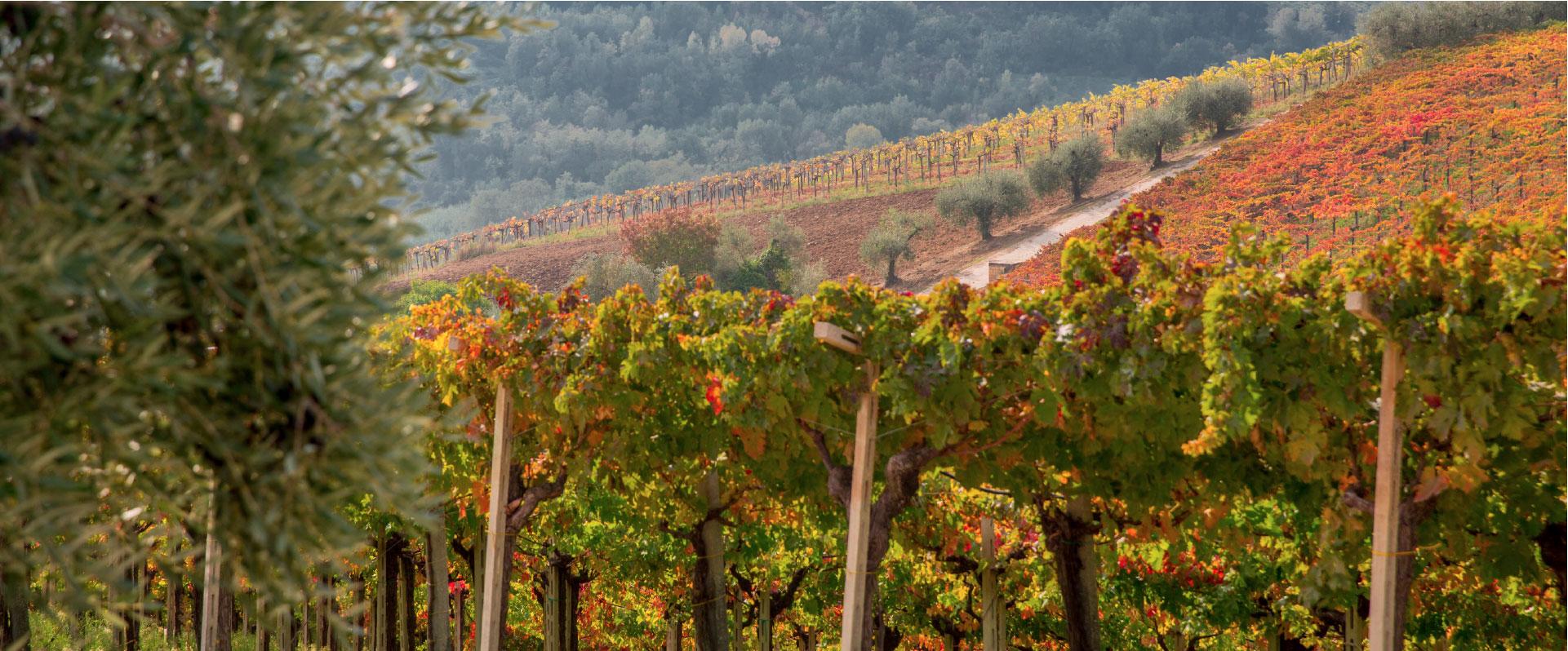 tenuta masciangelo vineyard