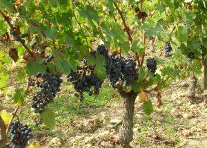 Black grape variety in the vineyard at Domaine Sauvète