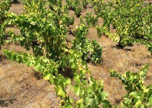 The vineyards at Domaine Jorel