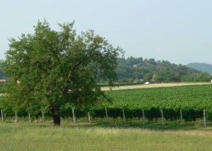 GENTILI AZIENDA AGRICOLA - vineyard