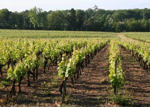 Château Bouscaut - vineyards