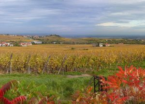 Vins Becker - vineyard with flowers