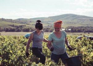 Two women harvesting black grape variety at Château de la Terrière