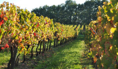The vineyard of Domaine de Perreau