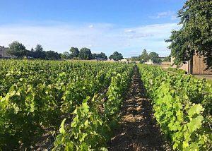 Domaine des Roches Neuves - Vineyard