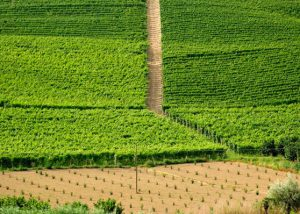 eraldo viberti amazing and lush vineyards near stunning winery