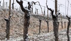 la viarte old grapevines in winter on vineyard near winery in italy
