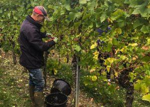 The work in the vineyard atLa Cave des Vignerons de Pfaffenheim