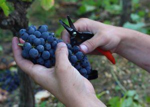 Black grape variety at Château La Tuilière