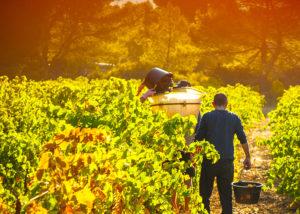 Ollieux Romanis - man walking in vineyards