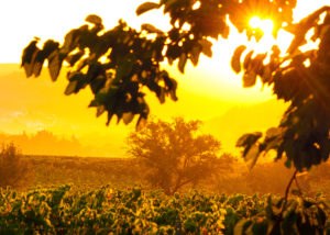 Ollieux Romanis - sun set vineyard