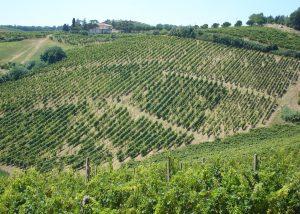 Tenuta Neri Giovanni e Valeria vineyard view located in Italy