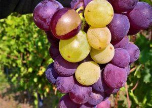 Giant-sized grape of vine grown on the vineyard of Villaoppi winery
