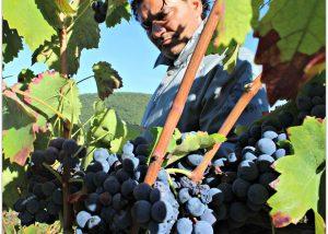 Tenuta Leonard winemaker reviewing grapes of vine at vineyard before harvest