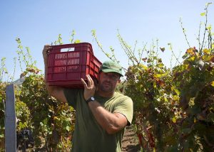 winemaker harvesting at vineyard of Tenuta Di Castellaro winery