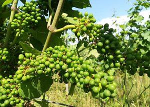 Arpents du Soleil - Grapes