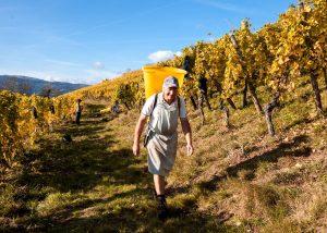 Vins Schoenheitz - time to harvest