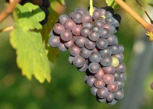 Black grape variety at Wunsch & Mann