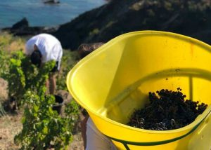 Harvesting time at Terres des Templiers
