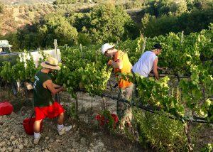 Tenuta Vitalonga winemakers at work on vineyards located in Italy