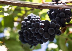 Red grapes on vines at Azienda vinicola Gianni Doglia winery in Piemont, Italy