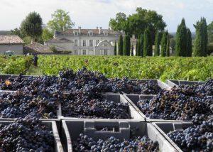 The harvest of the black grape at Château de la Dauphine in Bordeaux