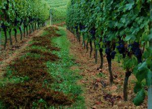 Lush black grape vines in a amazing winery in Massimo Rivetti.