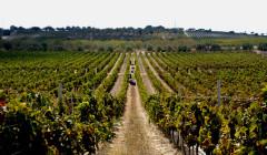 Tenuta La Favola beautiful vineyard full of rows in Italy