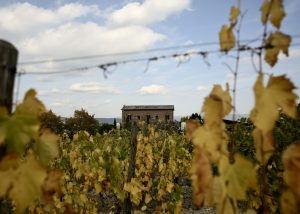Vines against the background of a building in the Italian winery Palazzone.