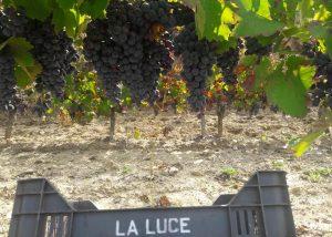 michele laluce amazing ripe grapes on vine on vineyard near winery